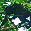 Howler monkey with its young.