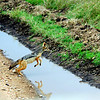 Silver or Black Backed Jackal Jumping over a ditch of water, Tanzania, Africa