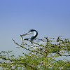 Great Blue Heron with lizard , Tanzania, Africa