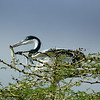 Great Blue Heron with Lizard, Tanzania, Africa
