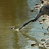 Great Blue Heron Drinking water after eating Lizard, Tanzania, Africa
