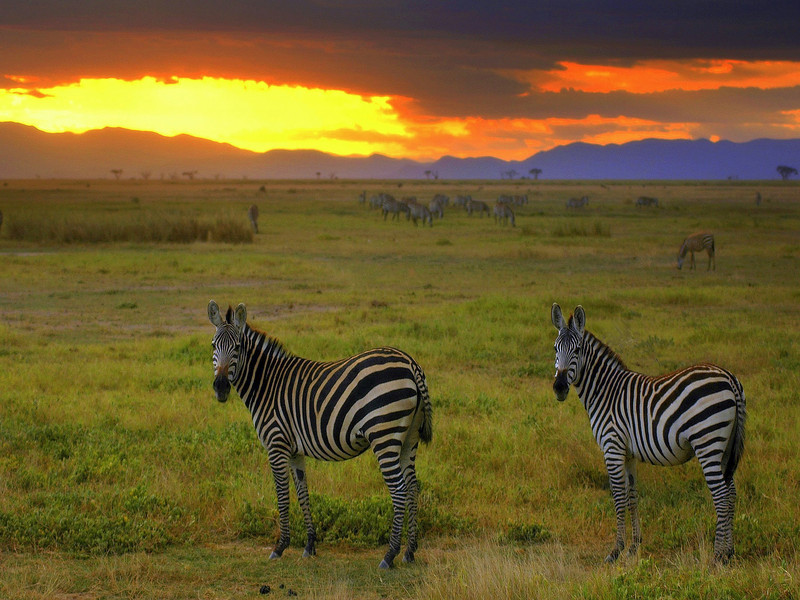 Zebra at sunset in the Amboseli National Park, Kenya, Africa
