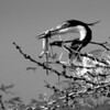 Great Blue Heron With Lizard, Tanzania, Africa, Black & White Photo