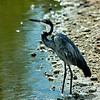 Great Blue Heron at Waters Edge, Tanzania, Africa
