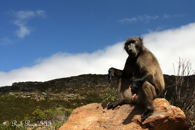 A baboon at the entrance to the Cape of Good Hope - Cape Town, South Africa ... March 12, 2010 ... Photo by Rob Page III