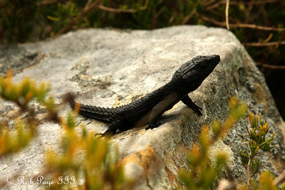 A lizard at Cape Point - Cape Town, South Africa ... March 12, 2010 ... Photo by Rob Page III