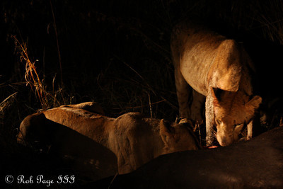 Devouring the buffalo - Sabi Sabi, South Africa ... March 13, 2010 ... Photo by Rob Page III