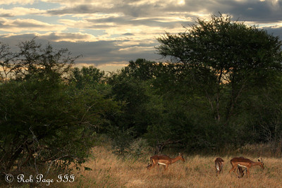 Impalas grazing in the evening - Sabi Sabi, South Africa ... March 13, 2010 ... Photo by Rob Page III