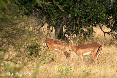 Impala enjoying an evening snack - Sabi Sabi, South Africa ... March 13, 2010 ... Photo by Rob Page III