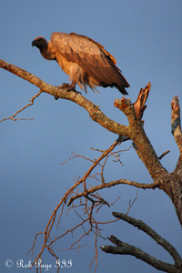 A vulture waits for the lions to finish - Sabi Sabi, South Africa ... March 13, 2010 ... Photo by Rob Page III