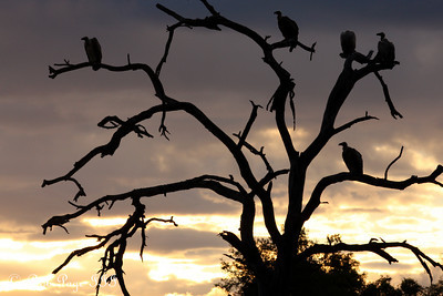 Vultures wait for the lions to finish their meal - Sabi Sabi, South Africa ... March 13, 2010 ... Photo by Rob Page III