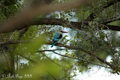 A woodland kingfisher - Sabi Sabi, South Africa ... March 13, 2010 ... Photo by Rob Page III