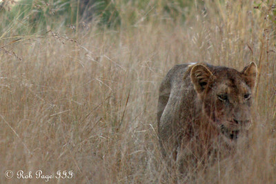 A lion prowls the savanna - Sabi Sabi, South Africa ... March 13, 2010 ... Photo by Rob Page III