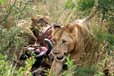 A lion walks away from a cape buffalo kill - Sabi Sabi, South Africa ... March 13, 2010 ... Photo by Rob Page III