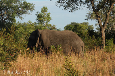 A bull elephant in the savanna - Sabi Sabi, South Africa ... March 14, 2010 ... Photo by Rob Page III