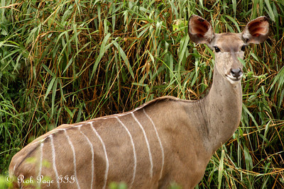 A kudu from Selati lodge - Sabi Sabi, South Africa ... March 14, 2010 ... Photo by Rob Page III