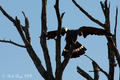 African Goshawk(?) - Sabi Sabi, South Africa ... March 14, 2010 ... Photo by Rob Page III
