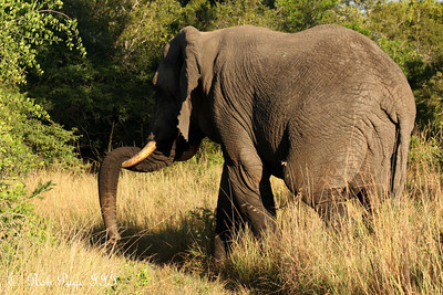 An elephant meanders through the savanna - Sabi Sabi, South Africa ... March 14, 2010 ... Photo by Rob Page III