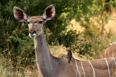 Kudu enjoying the morning - Sabi Sabi, South Africa ... March 14, 2010 ... Photo by Rob Page III