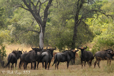 A herd of wildebeest - Sabi Sabi, South Africa ... March 14, 2010 ... Photo by Rob Page III