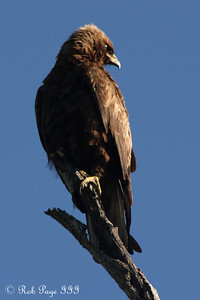 Wahlberg's Eagle - Sabi Sabi, South Africa ... March 14, 2010 ... Photo by Rob Page III