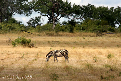 A lone zebra - Sabi Sabi, South Africa ... March 14, 2010 ... Photo by Rob Page III