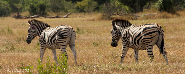 Zebras out on the savanna - Sabi Sabi, South Africa ... March 14, 2010 ... Photo by Rob Page III