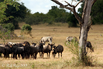 Wildebeest and zebras out on the savanna - Sabi Sabi, South Africa ... March 14, 2010 ... Photo by Rob Page III