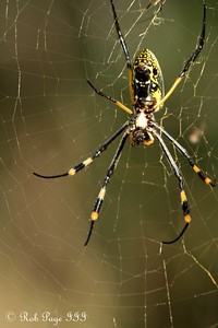 A golden orb weaver spider - Sabi Sabi, South Africa ... March 14, 2010 ... Photo by Rob Page III