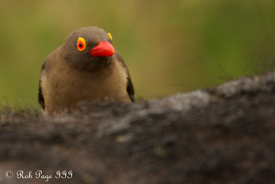 A red-billed ox-pecker - Sabi Sabi, South Africa ... March 14, 2010 ... Photo by Rob Page III