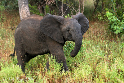 A young elephant enjoys the evening - Sabi Sabi, South Africa ... March 14, 2010 ... Photo by Rob Page III