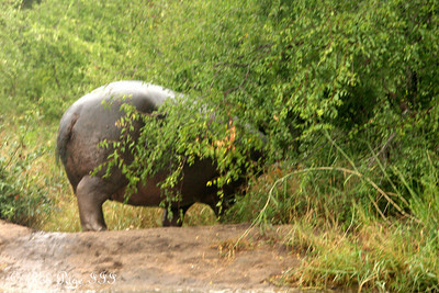 A hippo scampers into the woods to hide - Sabi Sabi, South Africa ... March 14, 2010 ... Photo by Rob Page III