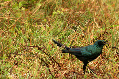 Burchell's Glossy starling - Sabi Sabi, South Africa ... March 14, 2010 ... Photo by Rob Page III