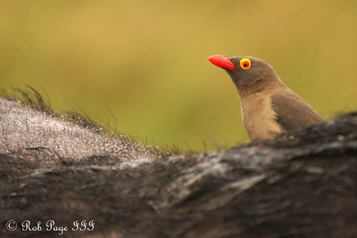 The red-billed ox pecker - Sabi Sabi, South Africa ... March 14, 2010 ... Photo by Rob Page III