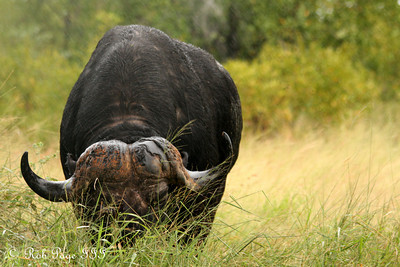 A cape buffalo grazes in the rain - Sabi Sabi, South Africa ... March 14, 2010 ... Photo by Rob Page III