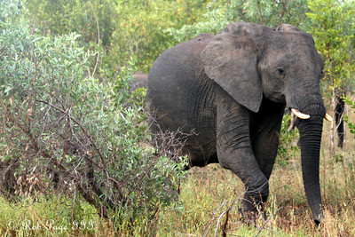 An elephant walks through the woods - Sabi Sabi, South Africa ... March 14, 2010 ... Photo by Rob Page III