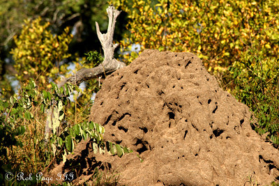 A termite mound.  The mounds can become ten-twenty feet tall and grow for centuries.  Amazingly the termites can keep the mound a constant temprature, within 1 degree, throughout the entire year - Sabi Sabi, South Africa ... March 15, 2010 ... Photo by Rob Page III