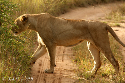 A lion is ready to mate - Sabi Sabi, South Africa ... March 15, 2010 ... Photo by Rob Page III