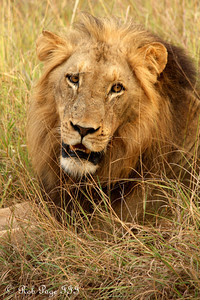 A lion - Sabi Sabi, South Africa ... March 15, 2010 ... Photo by Rob Page III