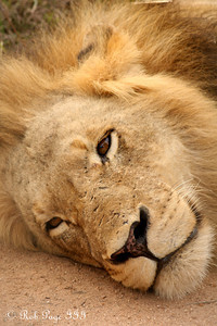 The lion rests - Sabi Sabi, South Africa ... March 15, 2010 ... Photo by Rob Page III