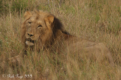 A lion hangs out in the grass - Sabi Sabi, South Africa ... March 15, 2010 ... Photo by Rob Page III