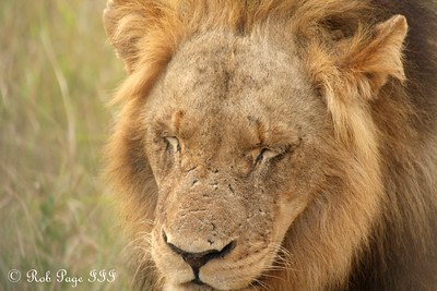 A sleepy lion - Sabi Sabi, South Africa ... March 15, 2010 ... Photo by Rob Page III