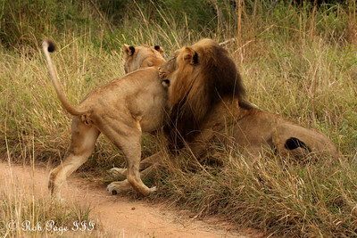 The lioness gets the lion's attention - Sabi Sabi, South Africa ... March 15, 2010 ... Photo by Rob Page III