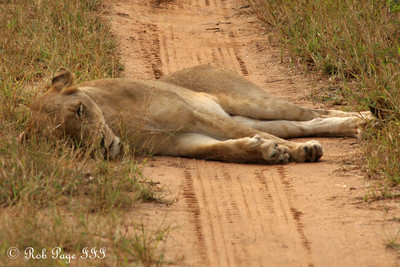 Taking a nap after her time with the lion - Sabi Sabi, South Africa ... March 15, 2010 ... Photo by Rob Page III