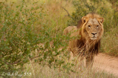 A lion on an early morning stroll - Sabi Sabi, South Africa ... March 15, 2010 ... Photo by Rob Page III