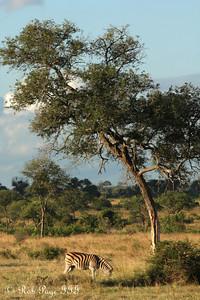 A zebra on the savanna - Sabi Sabi, South Africa ... March 15, 2010 ... Photo by Rob Page III
