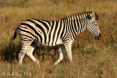 A zebra - Sabi Sabi, South Africa ... March 15, 2010 ... Photo by Rob Page III