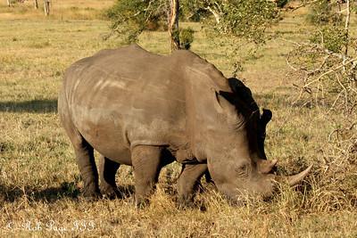 A white rhino - Sabi Sabi, South Africa ... March 15, 2010 ... Photo by Rob Page III