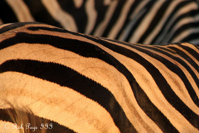 Zebras - Sabi Sabi, South Africa ... March 15, 2010 ... Photo by Rob Page III