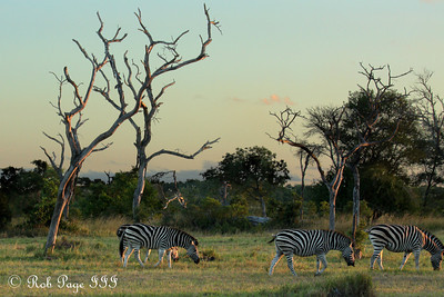 Zebras grazing at sunset - Sabi Sabi, South Africa ... March 15, 2010 ... Photo by Rob Page III
